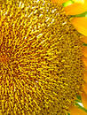 Free Sunflower Closeup Stock Photography - 245452