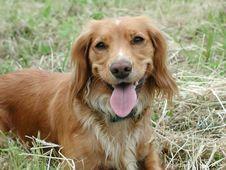 Free Springer Spaniel Royalty Free Stock Photo - 240415