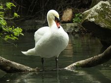 Free Swan Royalty Free Stock Image - 240826