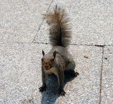 Free Squirrel Stock Photo - 242370