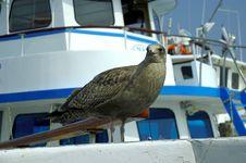 Free Seagull Stock Image - 243221