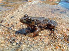 Free Leapord Frog On The Beach Royalty Free Stock Image - 243716