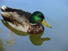 Free Wild Duck Royalty Free Stock Image - 244296