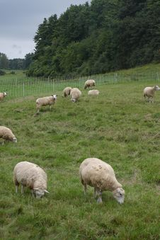 Free Sheep Landscape Royalty Free Stock Images - 245019