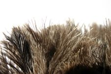 Free Ostrich Feathers Stock Photo - 245390