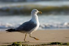 Free Running Seagull Royalty Free Stock Image - 245696