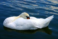 Free Sleeping Swan Royalty Free Stock Photography - 245857