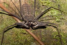 Free Not A Whip Scorpion Royalty Free Stock Images - 248139