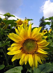Free Sunflower Royalty Free Stock Photography - 249767