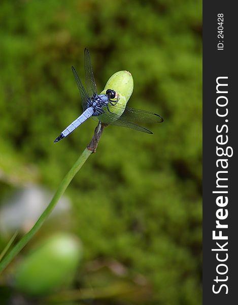 Blue dragonfly resting on a flowerbud