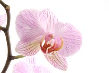 Free Purple Orchid Royalty Free Stock Photos - 2400148