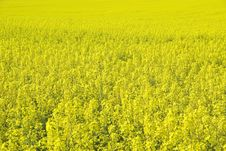 Free Rape Field. Royalty Free Stock Images - 2400659
