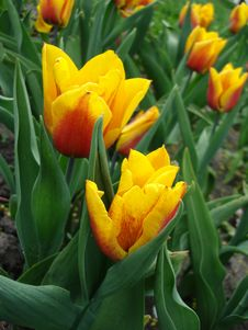 Free Yellow Tulips In The Park Stock Images - 2401294