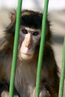 Free Monkey Contemplating Life Behi Stock Photography - 2402722