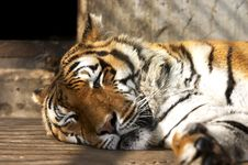 Free Sleeping Tiger In The Zoo Royalty Free Stock Photo - 2402815