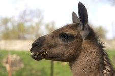 Free Lama Eating Dry Grass Stock Images - 2402824