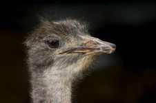 Free Ostrich Royalty Free Stock Photography - 2402847