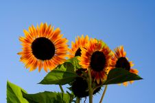 Free Sunflowers Stock Images - 2404034