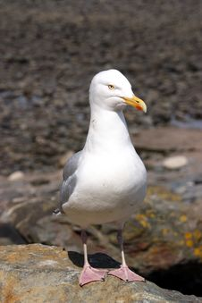 Free Gull On Rock Royalty Free Stock Photos - 2404158