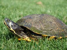 Free Pet Turtle In The Grass Stock Image - 2404811