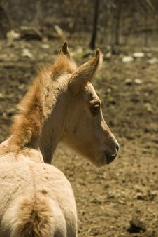 Free Filly Four Days Old Royalty Free Stock Photos - 2404968