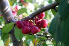 Free Cherries On A Branch Royalty Free Stock Images - 2405249
