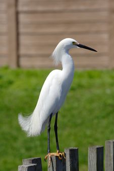 Free Great Egret Royalty Free Stock Photo - 2405315