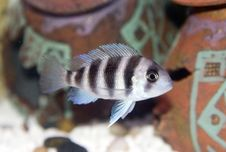 Free Frontosa Cichlid Stock Image - 2405381