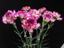 Free Purple And Cream Carnations Stock Image - 2405691