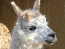Free Llama Royalty Free Stock Photos - 2405728