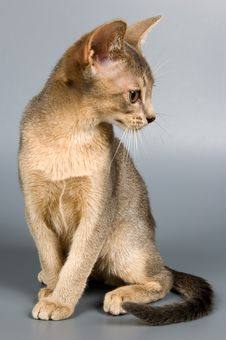 Free Kitten In Studio Royalty Free Stock Image - 2407436