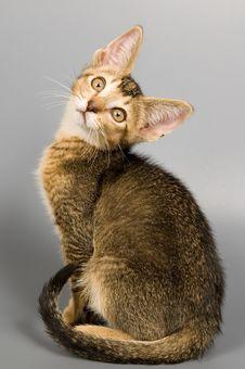 Free Kitten In Studio Stock Photography - 2407472
