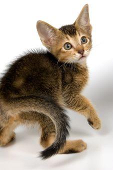Free Kitten In Studio Royalty Free Stock Images - 2407499