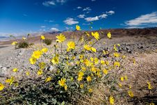 Free Desert Sunflower Stock Photography - 2408142