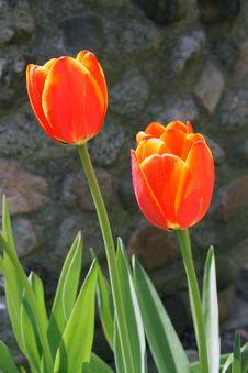 Free Shiny Red Tulips Stock Photos - 2408243