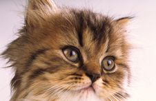 Free Kitten, Close Up Stock Photo - 2408880