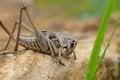 Free Grasshoppers Stock Photo - 24001880