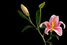 Free Pink Stargazer Lily  With Two Buds Stock Photography - 24004962