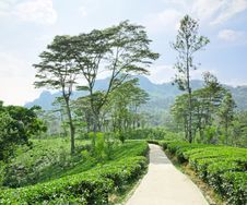 Free Tea Plantation  In The Mountains Royalty Free Stock Images - 24008659