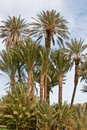Free Date Palms Stock Image - 24017141