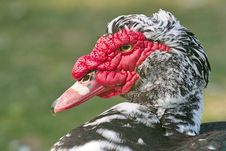 Free Muscovy Ducks Or Musky Duck Stock Images - 24010404