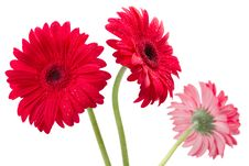 Free Three Red Gerber Flowers, Gerbera Daisies Stock Photography - 24012002