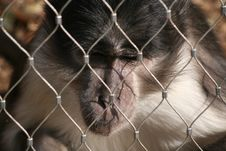 Free A Bored Monkey Royalty Free Stock Photo - 24015375
