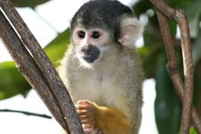 Free Squirrel Monkey Royalty Free Stock Images - 24015429