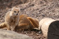 Free Mongoose Stock Photos - 24015433