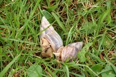 Free Mating Snails In The Grass Stock Image - 24016481