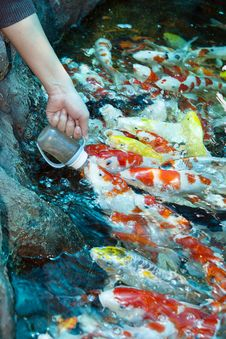 Free Feed Koi Milk Bottle Royalty Free Stock Images - 24016489