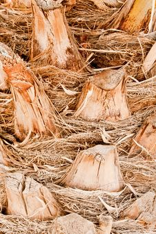 Free Date Palm Bark Royalty Free Stock Photography - 24017167