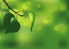 Free Birch Branch On A Green Background Royalty Free Stock Photography - 24019897