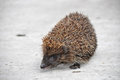 Free Hedgehog With Tongue Out Royalty Free Stock Photography - 24024177